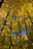 Fall Canopy Royalty Free Stock Photo