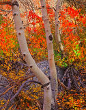 Fall Canopy Colors Royalty Free Stock Photo