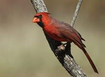 Fall Cardinal. Northern Cardinal male in fall plumage stock photos