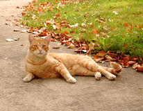 Fall Cat. Orange tabby cat sitting outside in fall/autumn surroundings royalty free stock photo