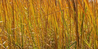 Fall Cattails Stock Photography