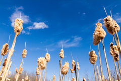 Fall Cattails Royalty Free Stock Images