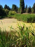 Fall cattails on a pond. Cattails on the shores of a Central Oregon pond beginning to change from green to yellow fall colors on a beautiful sunny day with blue stock image