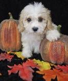 Fall Cavachon Puppy Stock Image