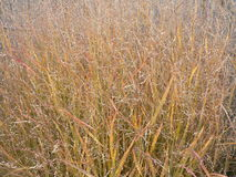 Fall changes to ornamental grass Royalty Free Stock Photos