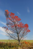 Fall Cherry. The vibrant fall foliage of a wild pin or choke cherry on the edge of a farmer's field stock photo