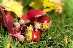 Fall Chestnuts. Fall scene with chestnuts and fall foliage on grass Royalty Free Stock Image