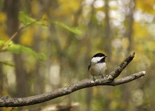 Fall chickadee. Black-capped chickadee on a branch with soft blurred fall background royalty free stock photos