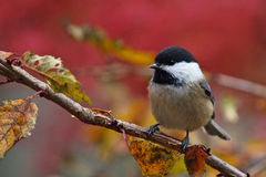 Fall Chickadee. A black-capped chickadee (Poecile atricapillus) perching on a branch in Fall Stock Photos