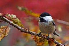 Fall Chickadee Stock Photos