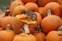 Fall Chipmunk in the Pumpkins Royalty Free Stock Image