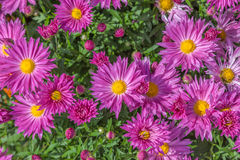 Fall Chrysanthemum Royalty Free Stock Photography
