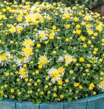 Fall Chrysanthemum Royalty Free Stock Images