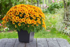 Fall Chrysanthemum Royalty Free Stock Photo
