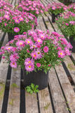 Fall Chrysanthemum Stock Photos