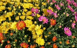 Fall Chrysanthemums Stock Photo
