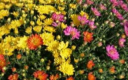 Fall Chrysanthemums Stock Photo