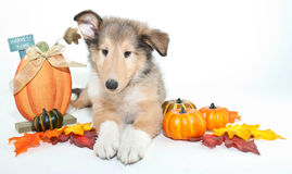 Fall Collie Puppy Stock Photos