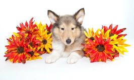 Fall Collie Puppy Stock Images
