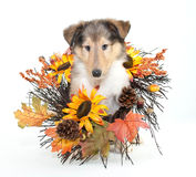 Fall Collie Puppy. Little Collie puppy with fall decor all around him, on a white background stock photos