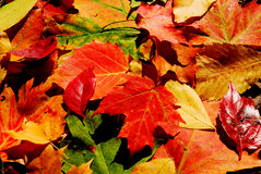 Fall color. Beautiful Fall foliage in a colorful arrangement Stock Photo