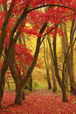 Fall color. Path through a wood framed by trees and red, yellow and green leaves. The forest floor is carpeted with red and orange leaves stock images