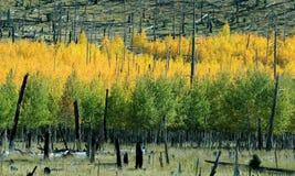 Fall color Arizona near flagstaff. Aspen turning color near Flagstaff, AZ, near Mount Humphreys Royalty Free Stock Photo