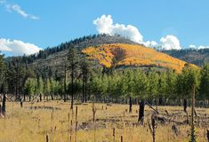 Fall color Arizona near flagstaff. Aspen turning color near Flagstaff, AZ, near Mount Humphreys Stock Images