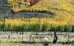 Fall color Arizona near flagstaff. Aspen turning color near Flagstaff, AZ, near Mount Humphreys Royalty Free Stock Image