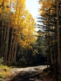 Fall color Arizona near flagstaff. Mountain road with aspen turning color near Flagstaff, AZ, near Mount Humphreys Royalty Free Stock Image