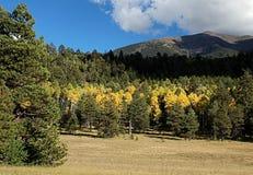 Fall color Arizona near flagstaff. Turning color near Flagstaff, AZ, near Mount Humphreys.  Aspen among the pines Royalty Free Stock Photos