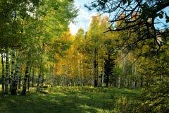 Fall color Arizona near flagstaff. Turning color near Flagstaff, AZ, near Mount Humphreys.  Aspen among the pines Stock Photo