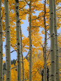 Fall color aspen forest (2) Stock Images