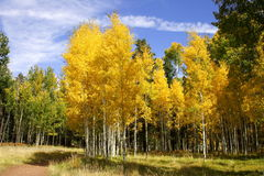 Fall color aspen forest (3). Beautiful fall color in arizona Stock Photography