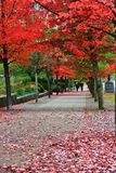 Fall Color, Autumn leaves in Coal Harbour, Downtown Vancouver, British Columbia Stock Images