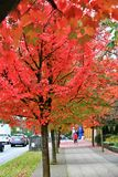 Fall Color, Autumn leaves in Coal Harbour, Downtown Vancouver, British Columbia Royalty Free Stock Photo