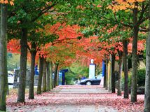 Fall Color, Autumn leaves in Coal Harbour, Downtown Vancouver, British Columbia Stock Photo