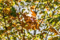 Fall color black oak, filtered autumn light, leaves edged in light Royalty Free Stock Photos