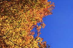 Fall color and blue sky Stock Images