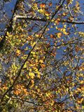 Fall Color. Blue sky, brown, yellow, orange leaves Royalty Free Stock Photography