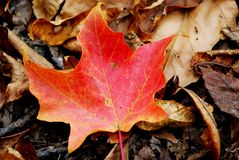 Fall color. Bright leaf on the ground in the fall season royalty free stock image