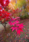 Fall Color Burst. Fisheye photo of Japanese Maple tree in full color with lens zoom during exposure Stock Image
