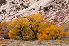 Fall Color with Cottonwood Trees Stock Images