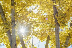 Fall color of Ginkgo leaves. Fall color of yellow Ginkgo leaves at Los Angeles Royalty Free Stock Photos