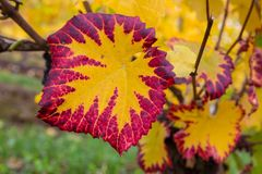 Fall Color of Grape Foliage Macro. Grape leaves fall color foliage at winery vineyard closeup macro Stock Images