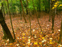 Fall Color In Illinois. Beautifully colored fall leaves cover a woodland at Kishwaukee Gorge Forest Preserve in northern Illinois Royalty Free Stock Photography