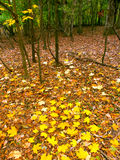 Fall Color In Illinois. Beautifully colored fall leaves cover a woodland at Kishwaukee Gorge Forest Preserve in northern Illinois Royalty Free Stock Photos