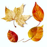 Fall color leaves. Four fall  color leaves on white background Royalty Free Stock Image