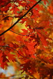 Fall Color Leaves Stock Photography