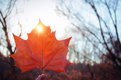 Fall color Maple leaf. Red Fall color Maple leaf at sunset light royalty free stock photo